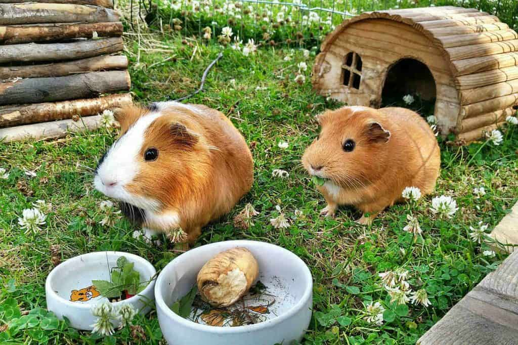 Two guinea pigs waiting to eat green beans instead of grass