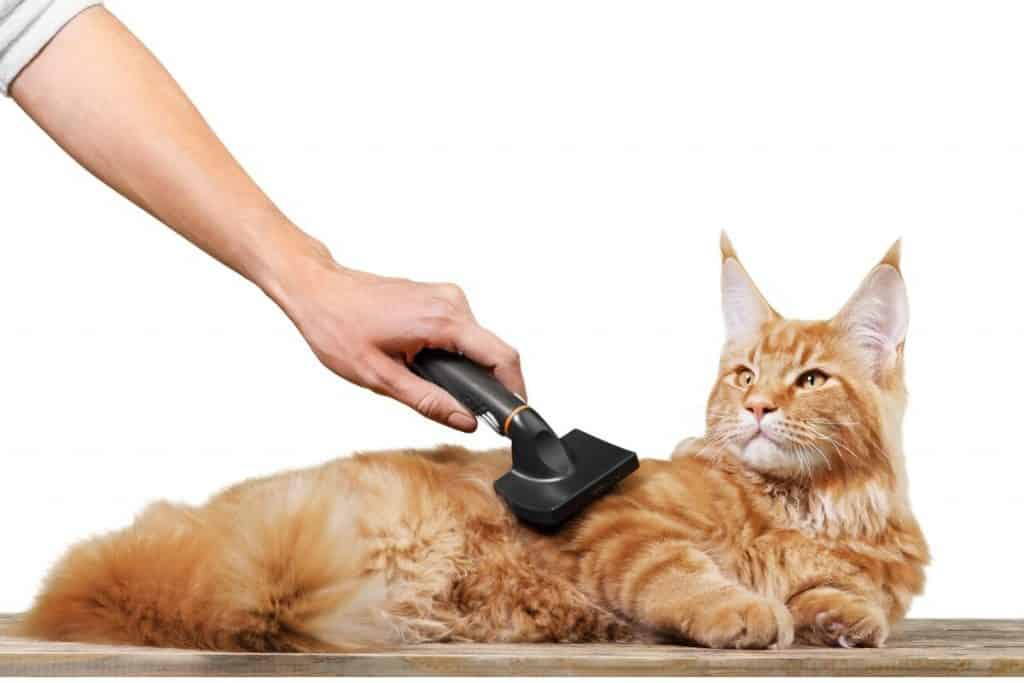 Ginger Maine Coon being brushed