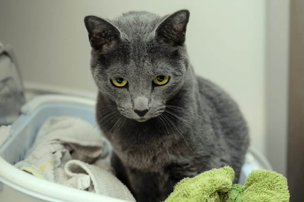 Grey cat looking sheepish in a laundry basket