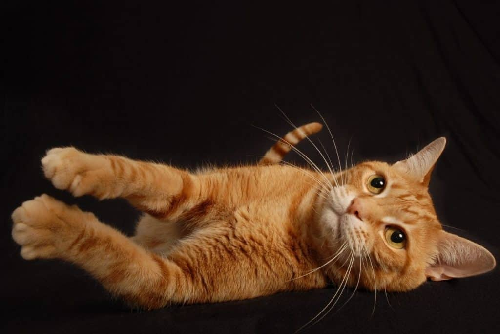 Ginger cat on its side stretching