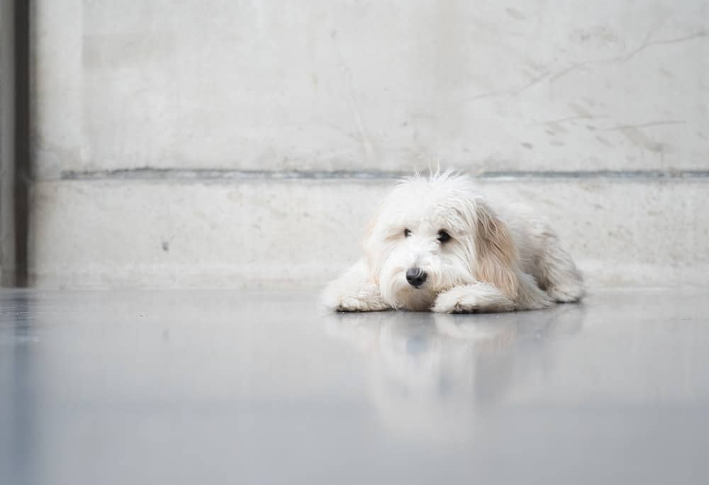 can the goldendoodle be left alone