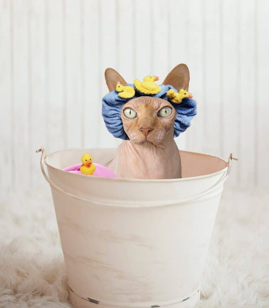 Sphynx cat in tub wearing shower cap