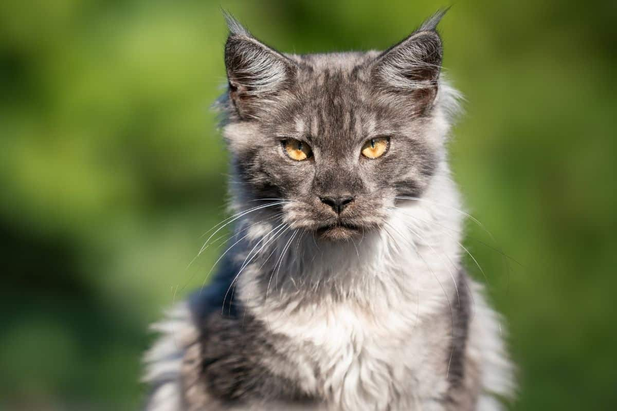 Beautiful blue smoke Maine Coon