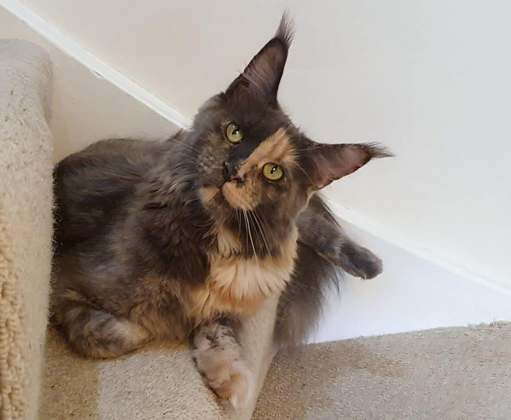 Blue tortie smoke Maine Coon on the stairs