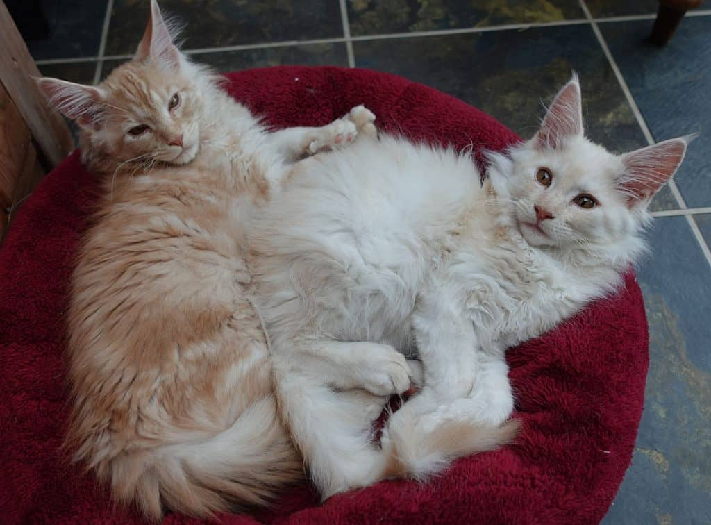 Cream and a red Maine Coon kittens in a cat bed