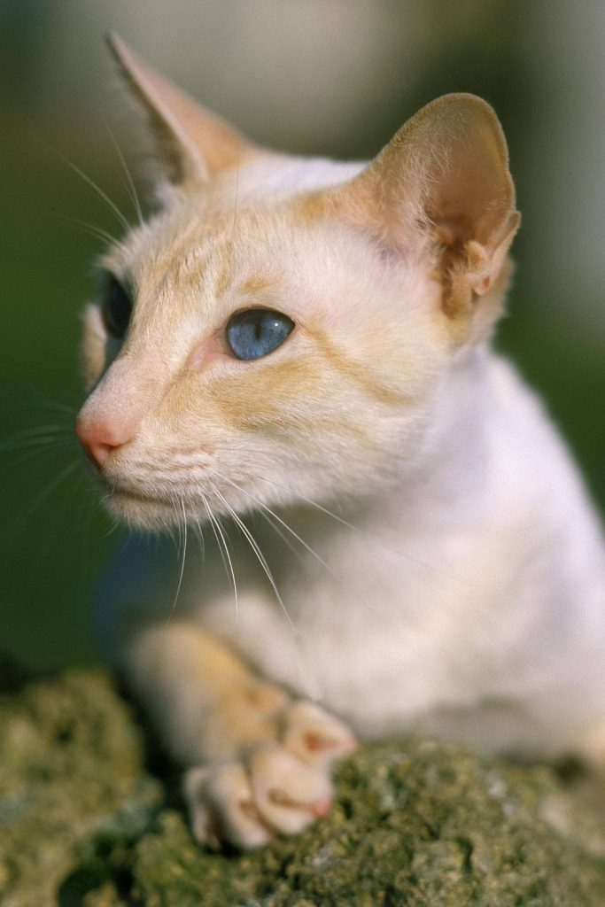 A close-up of a flame point Siamese cat.
