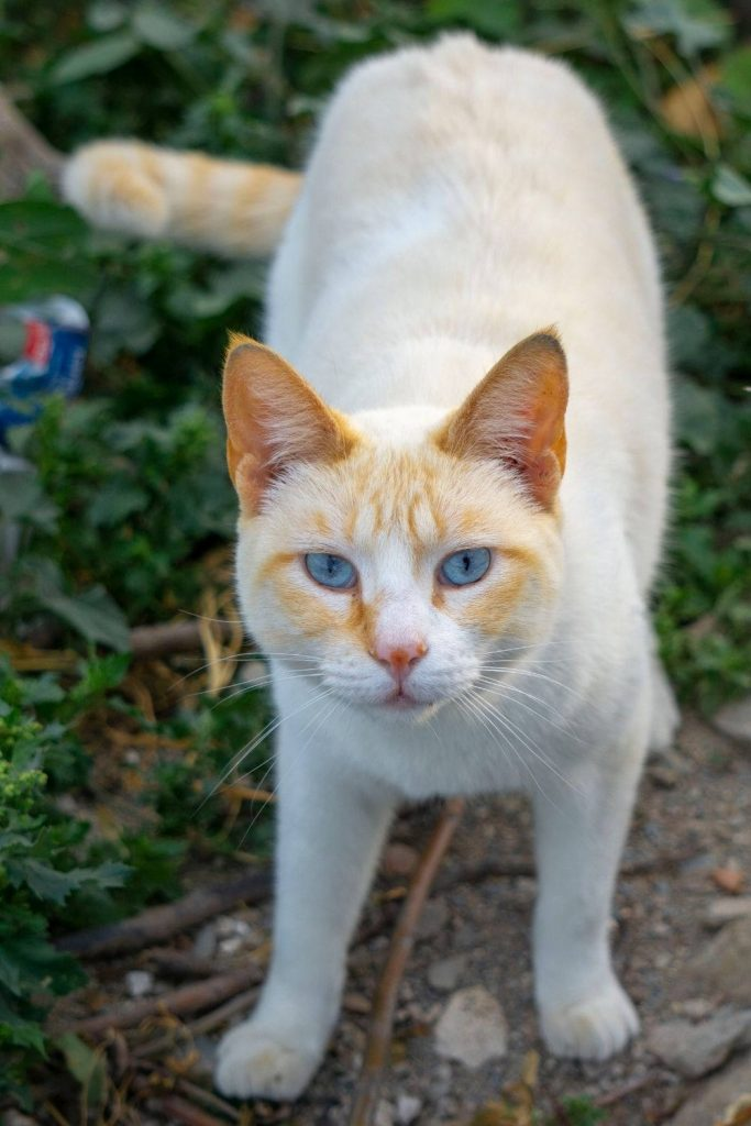 A flame point Siamese cat standing.