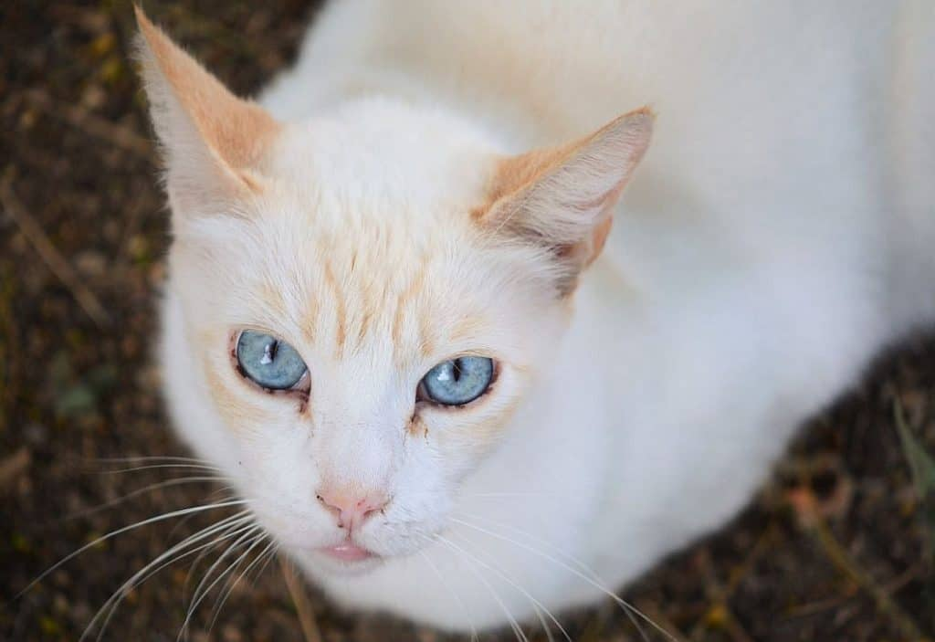 Flame Point or red point Siamese cat aka colorpoint shorthair