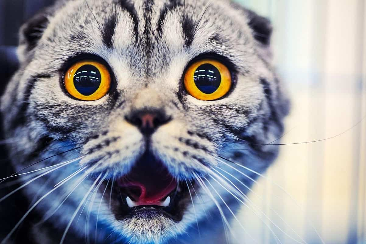 Grey tabby cat looking shocked