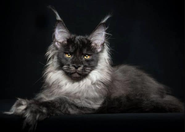 Black smoke Maine Coon with silver neck rough and ear tips