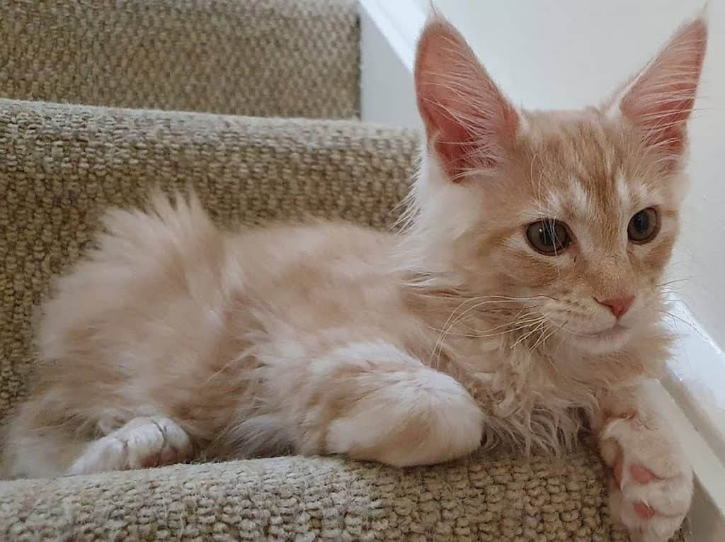 Red or Cameo smoke Maine Coon on the stairs