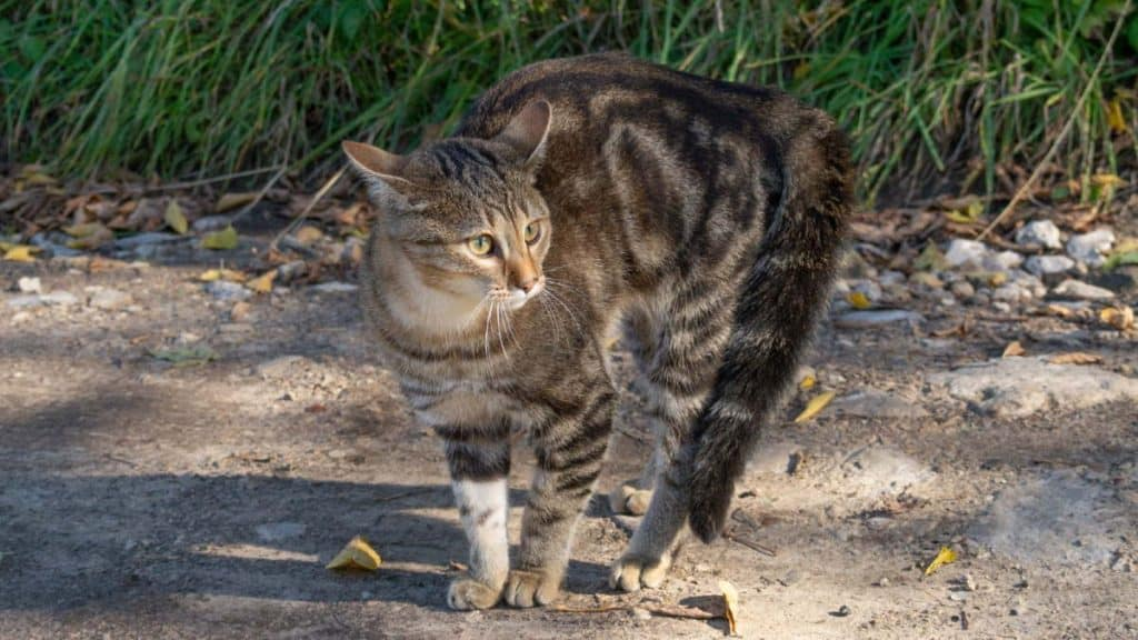 A tabby cat about to jump sideways.