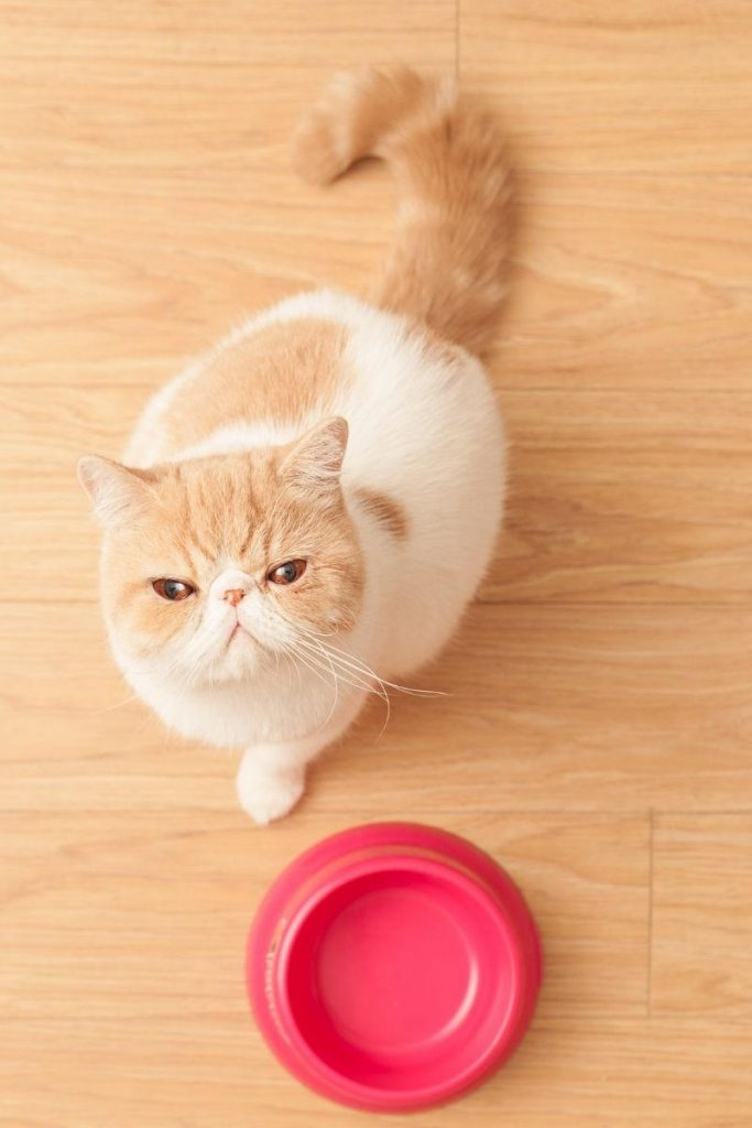 An aerial view of a cat with an empty food bowl looking up at the camera.