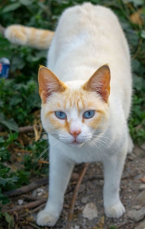 Flame Point Siamese cat with blue eyes