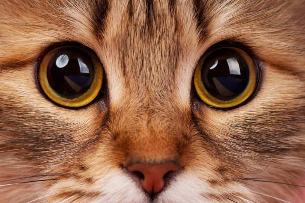 Cat with enlarged pupils