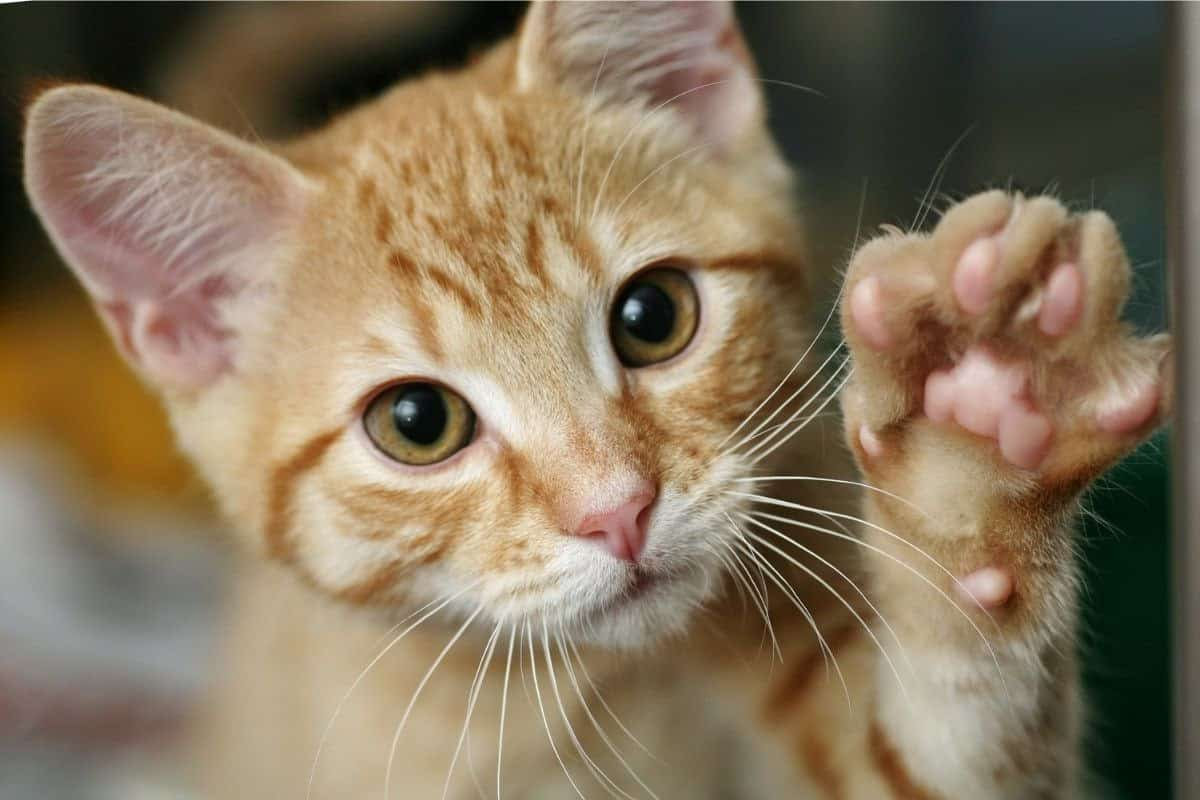 Ginger cat with paw raised to shake