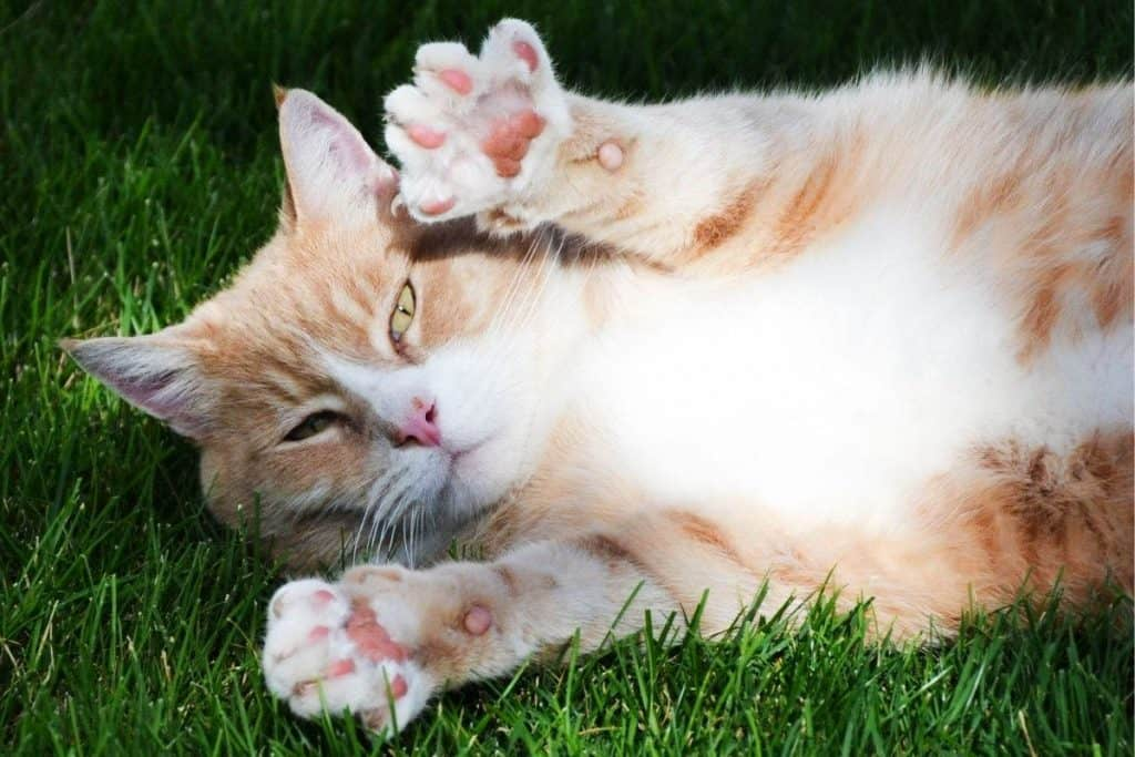 Cat lying on a lawn with paws raised