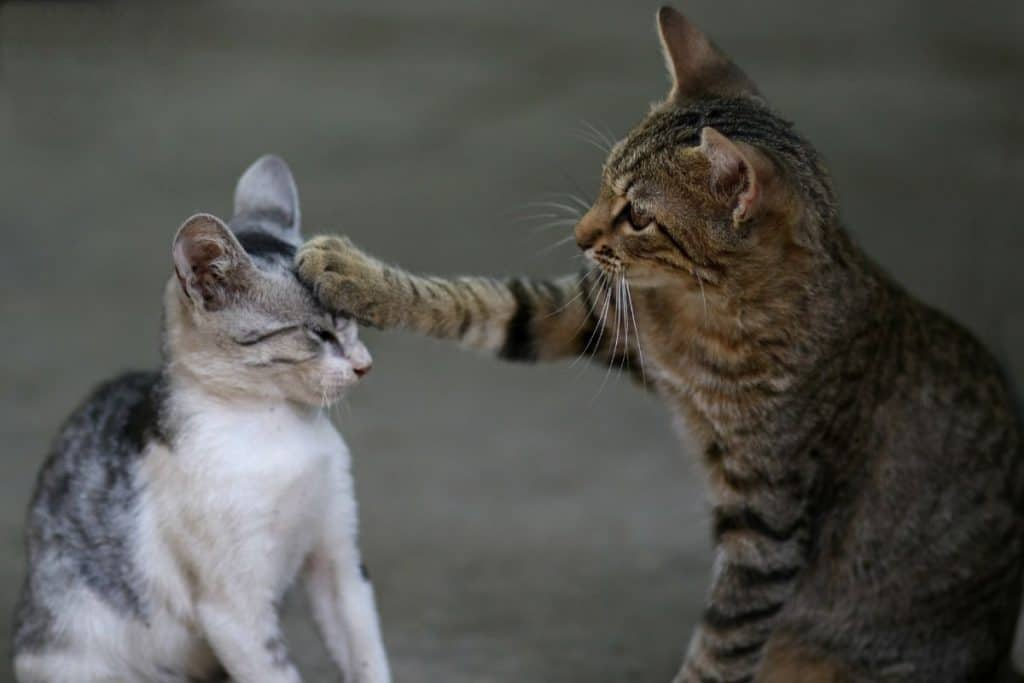 Cat giving her older kitten a swipe