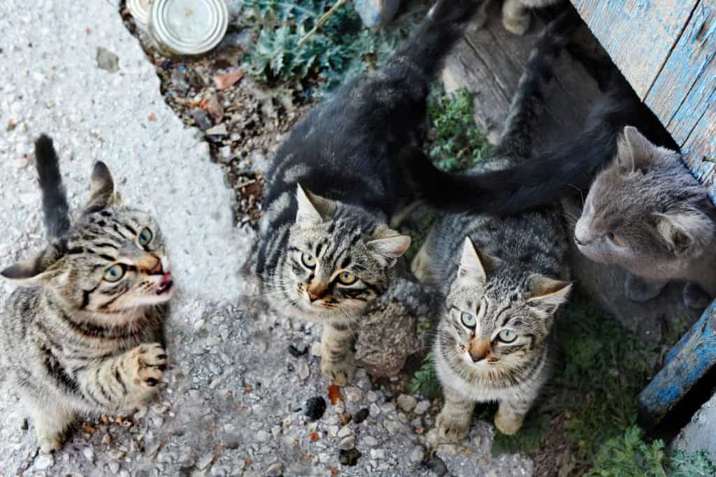 Female kittens stay with a feral cat colony