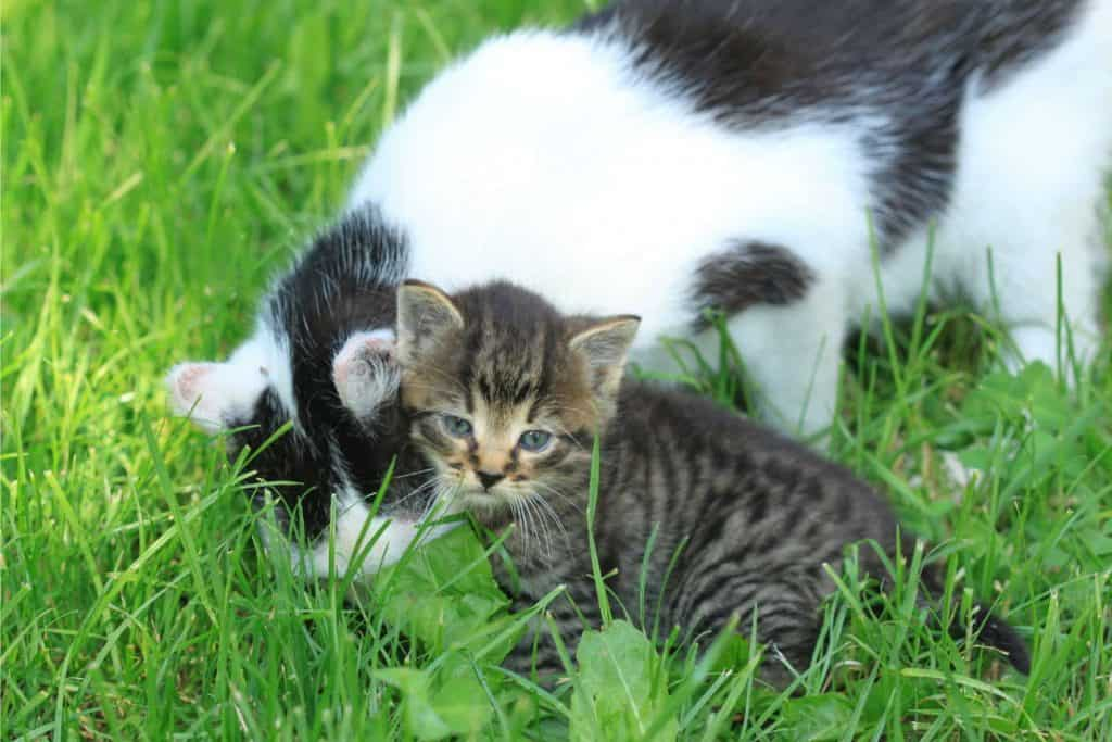 Mother cat on a lawn with a kitten