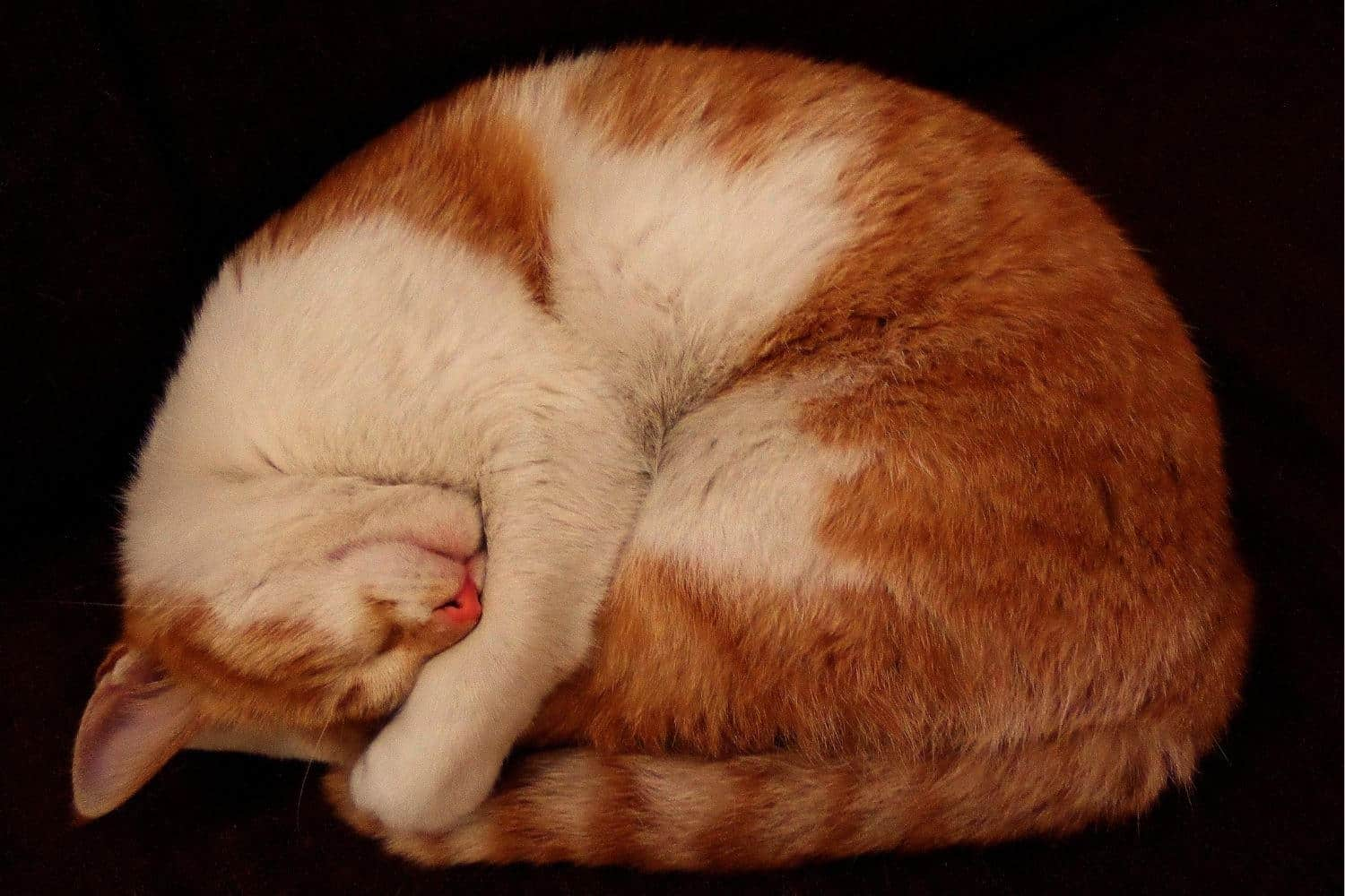 Ginger and white cat curled up into a ball asleep