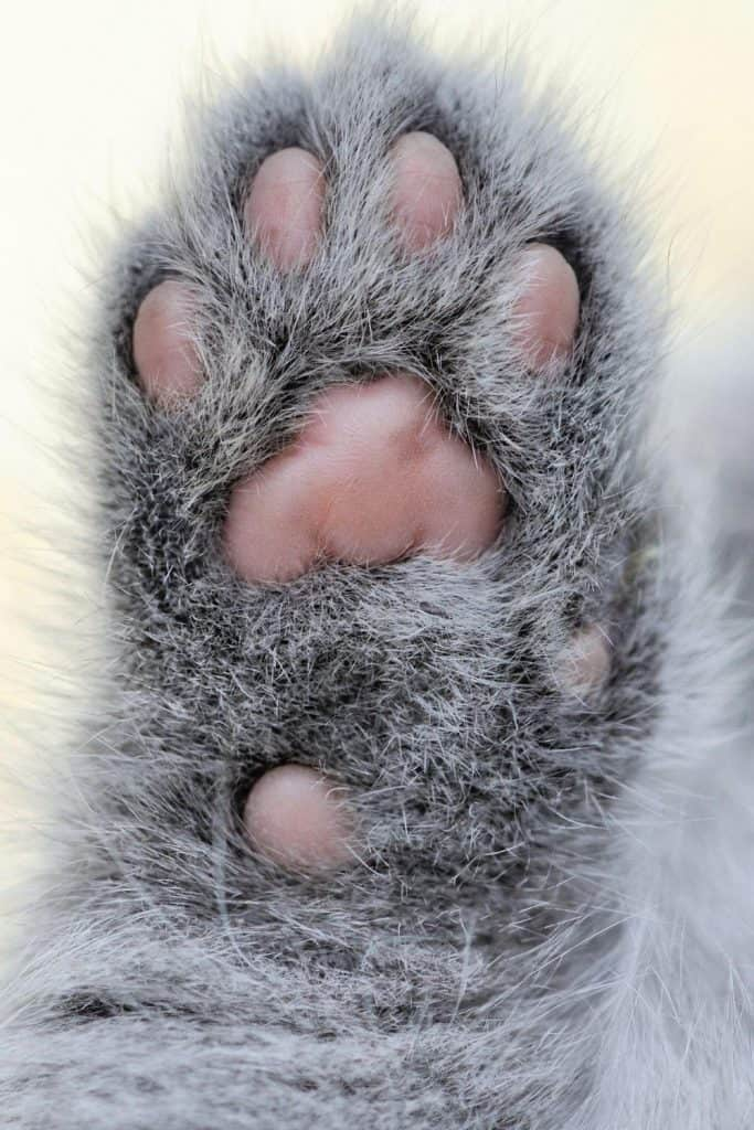 Grey cat paw with pink toe beans