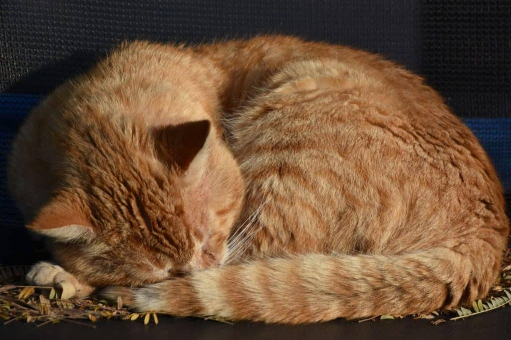 Ginger tabby cat curled up tight asleep on leaves