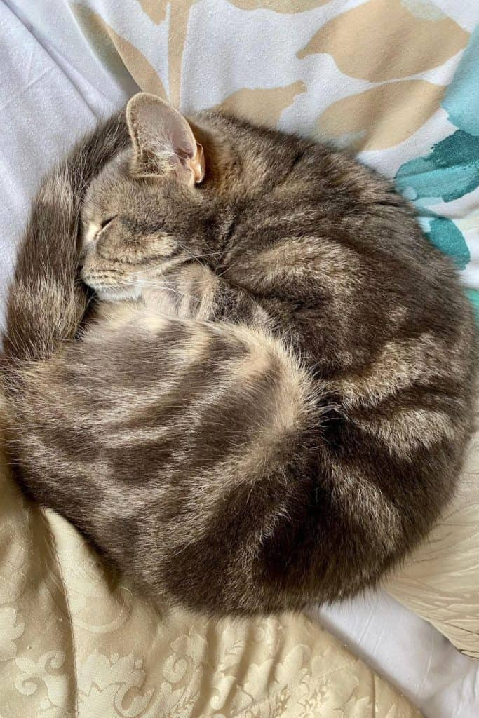 Tabby cat curled up asleep on a bed