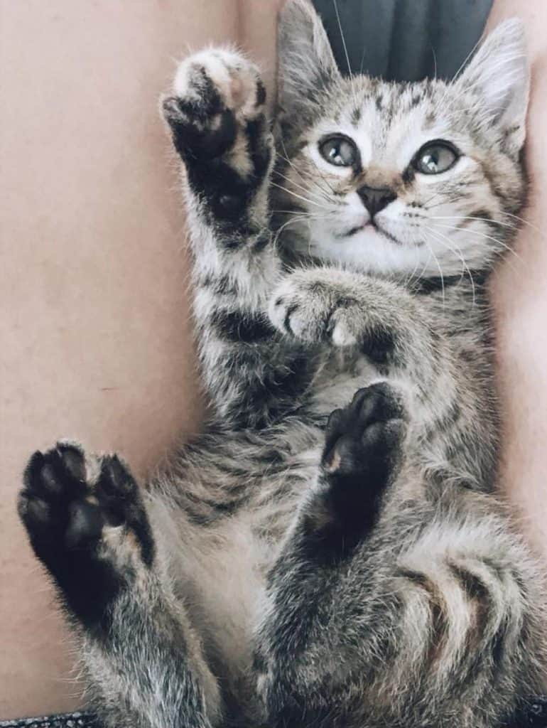 grey tabby cat displaying black toe beans