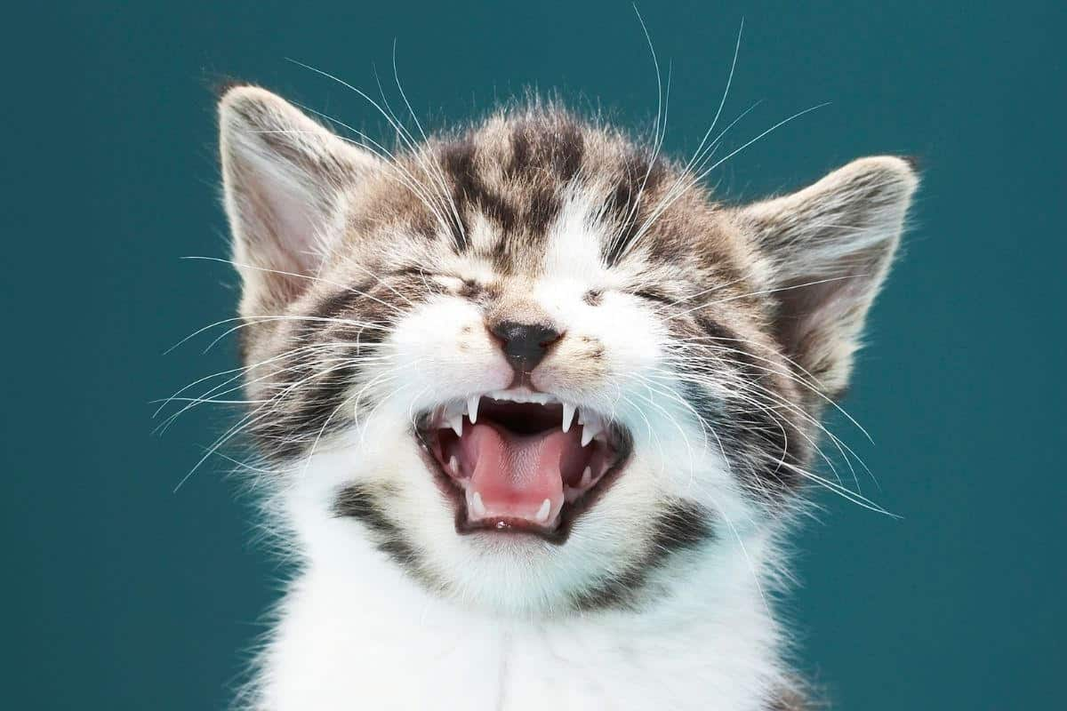 Closeup of tabby and white kitten sneezing