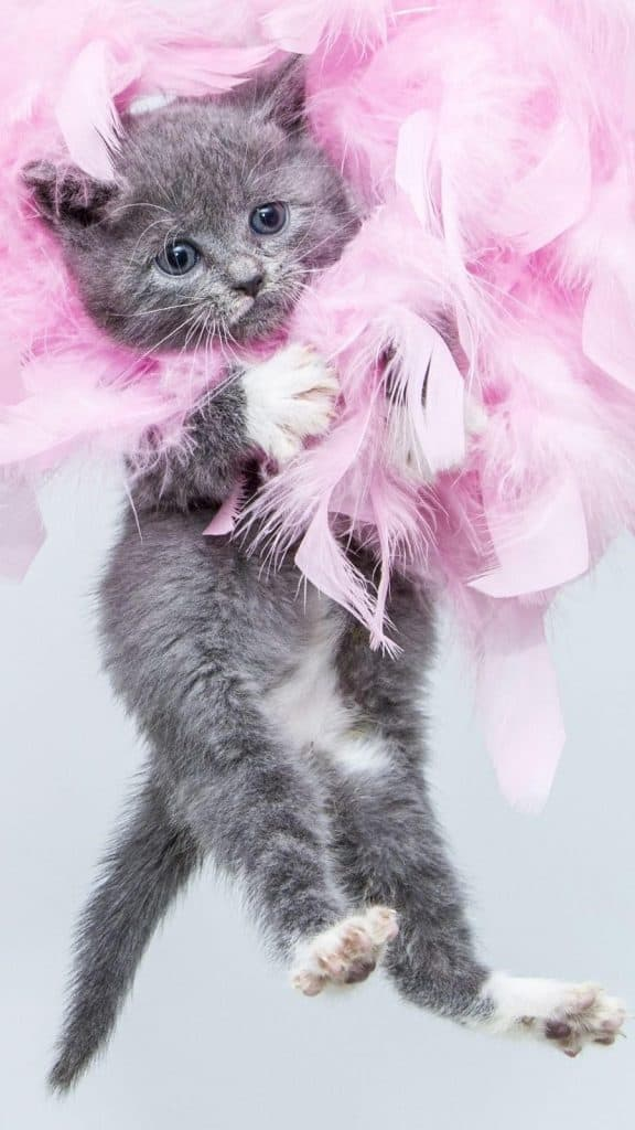 Grey kitten among pink feathers that could trigger sneezing