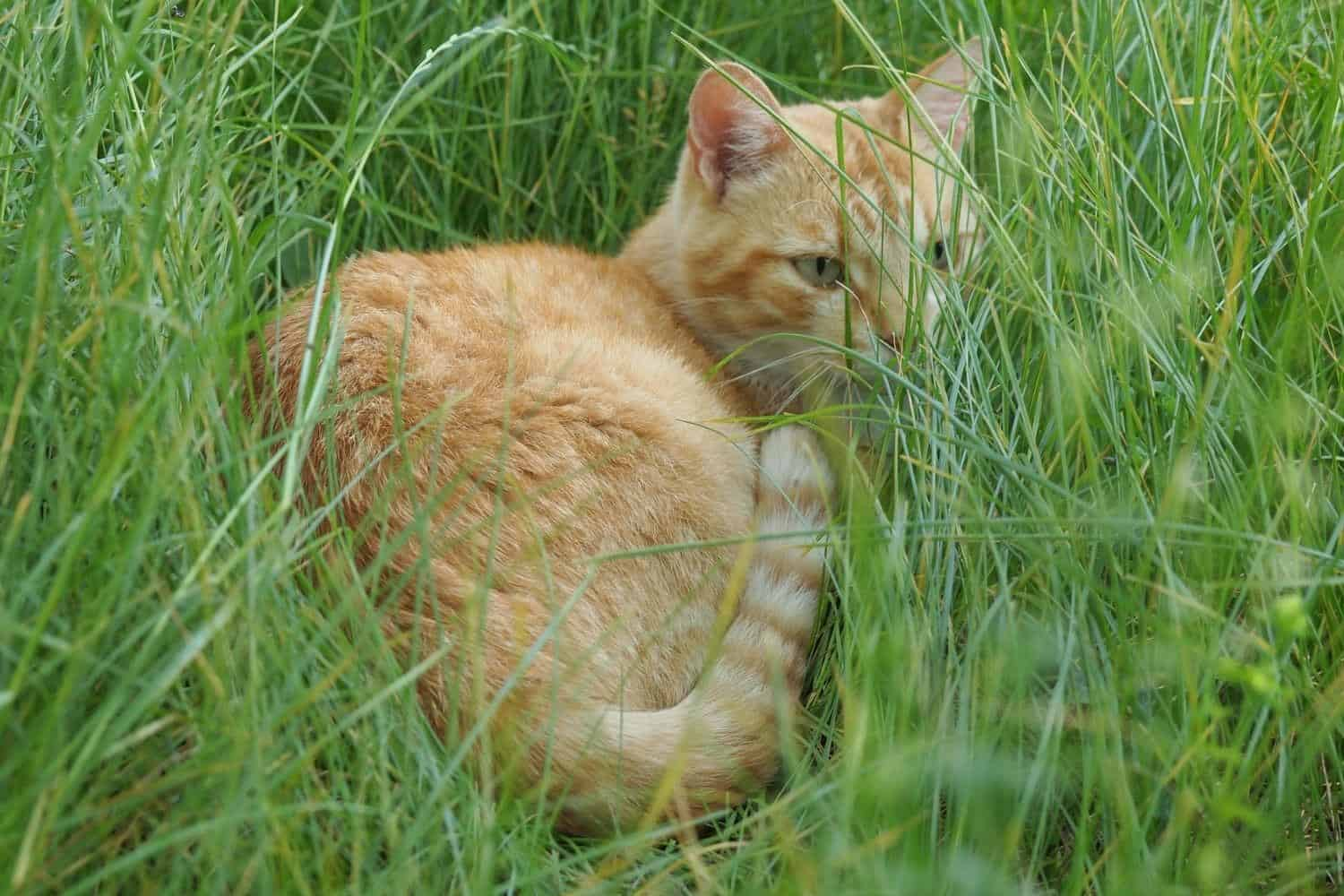 Ginger cat making a bed in the grass.