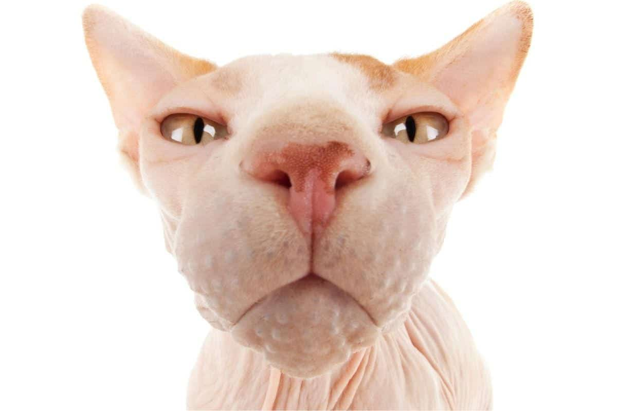 Very closeup of a sphynx cat's face and whisker area