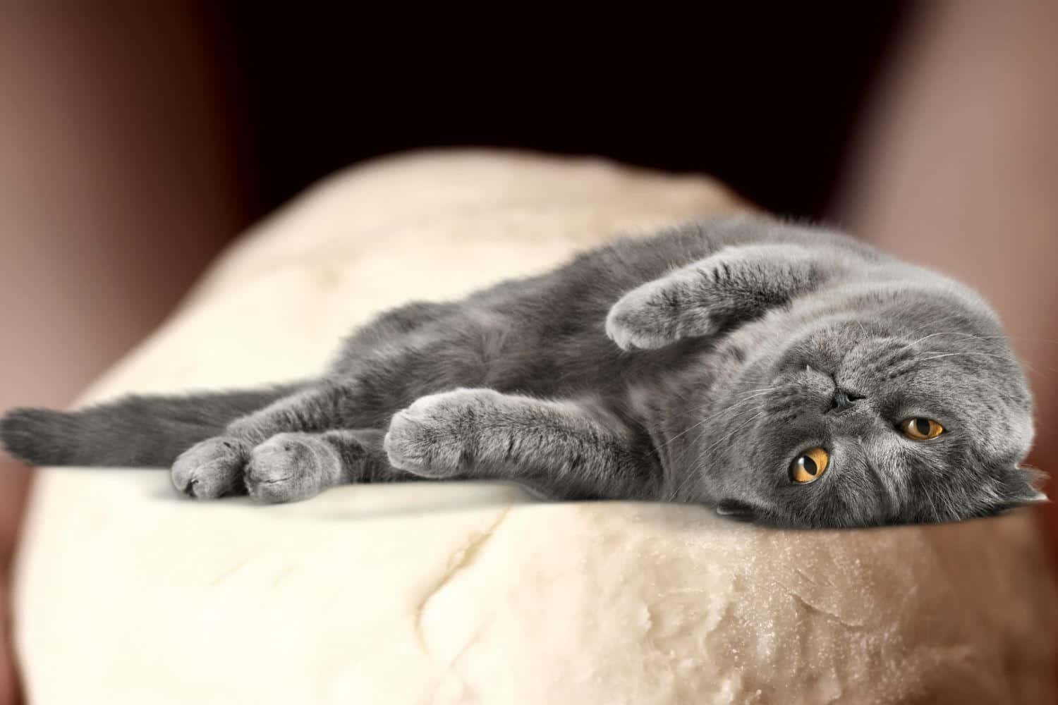 Grey cat relaxing after making biscuit dough.