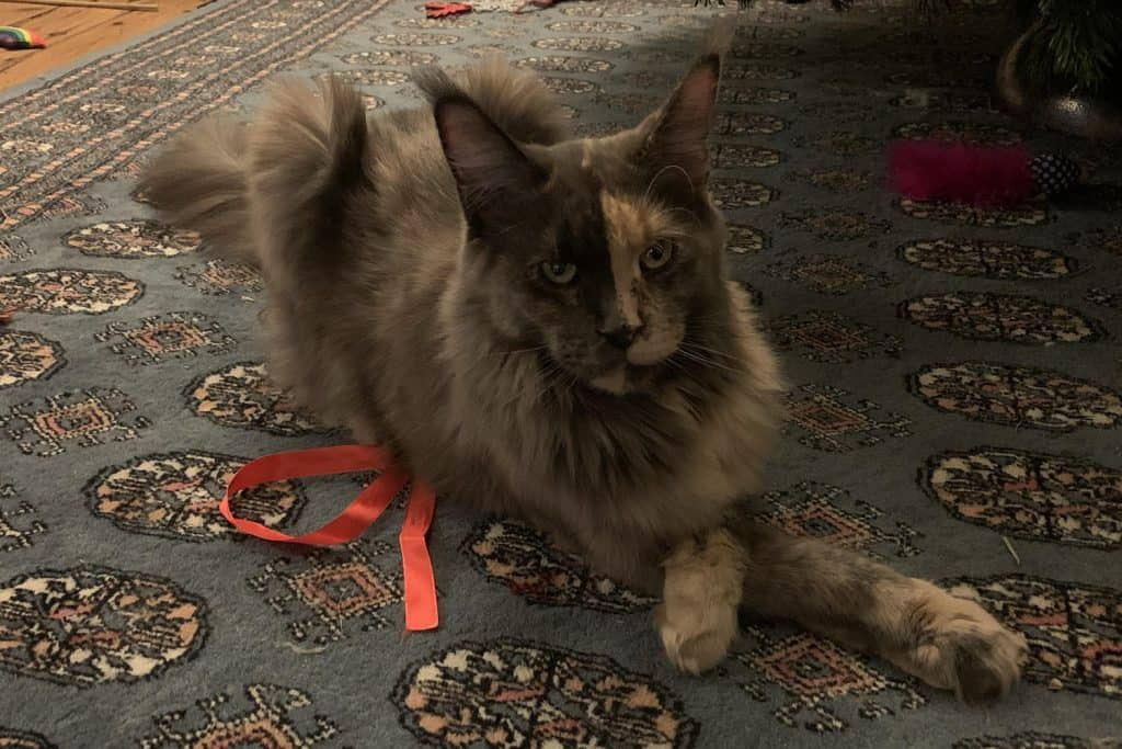Maine Coon cat with her front paws crossed