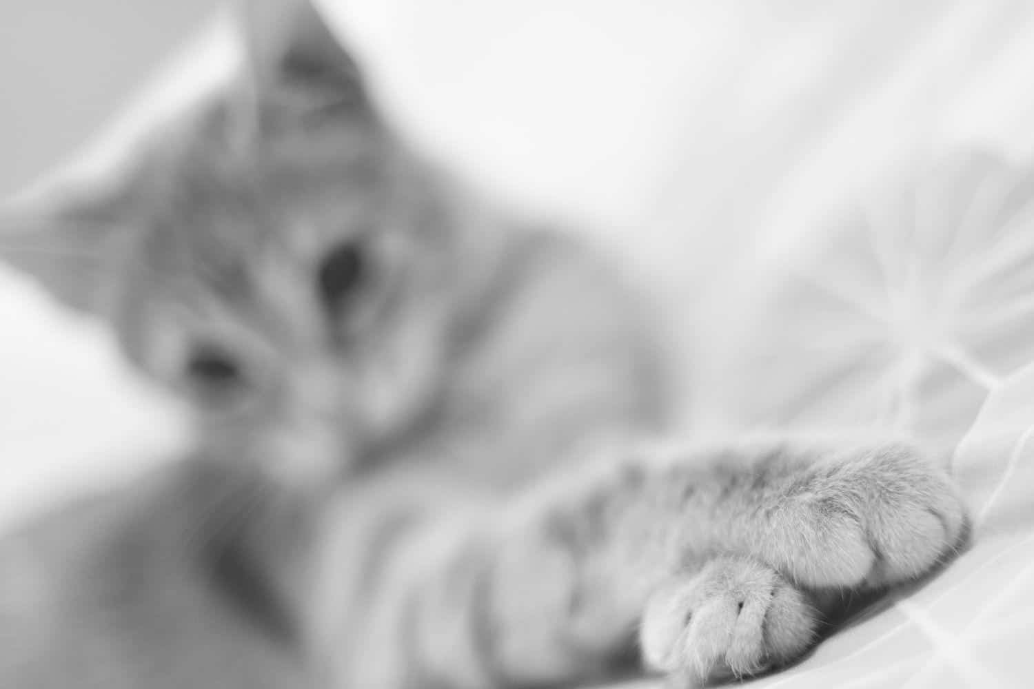 Tabby cat with front paws crossed