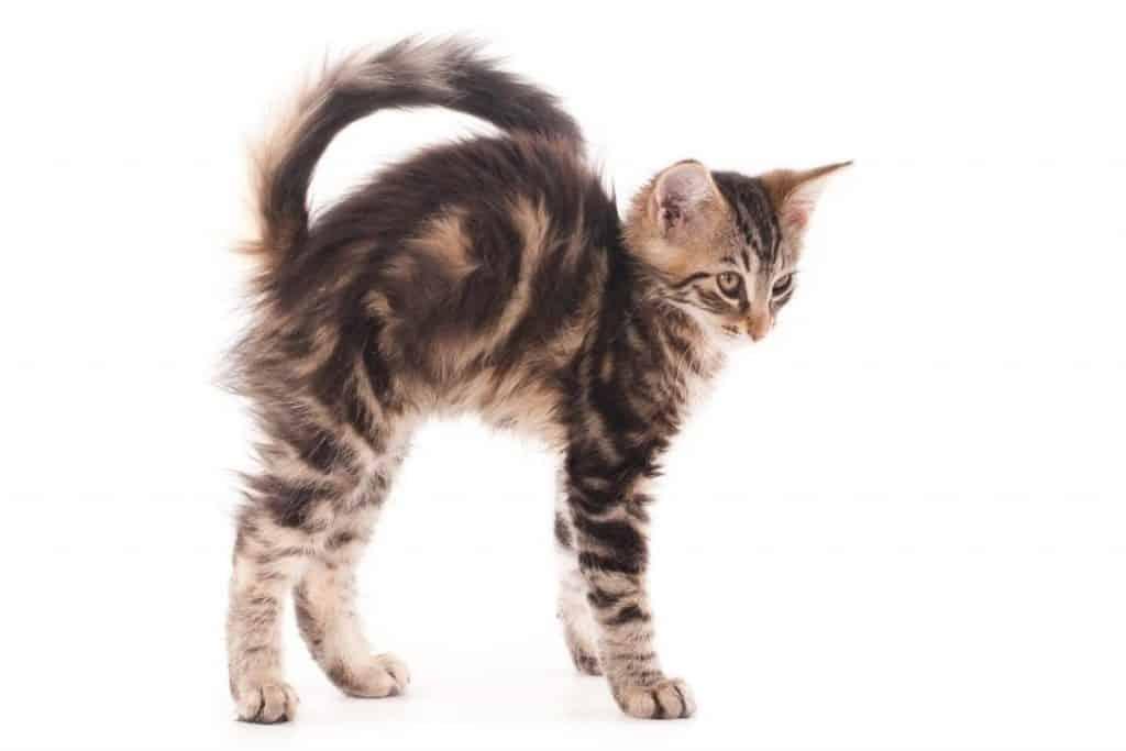 Tabby kitten about to run sideways