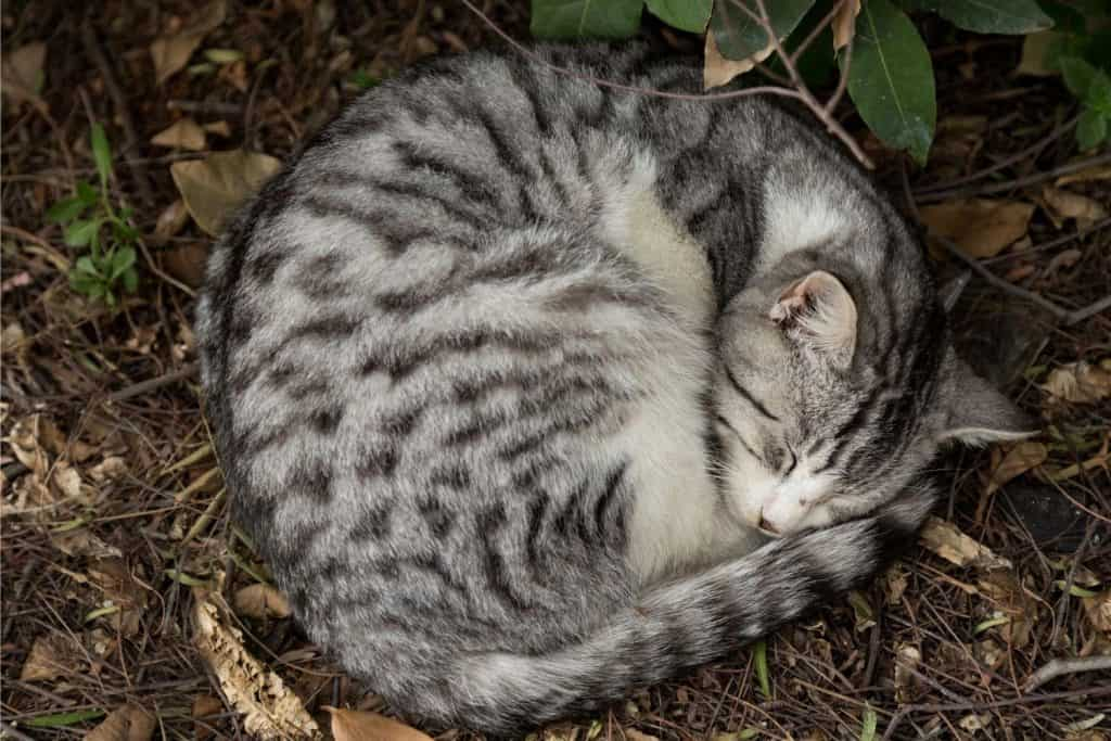 Grey tabby cat sleeping in a circle in leaves.