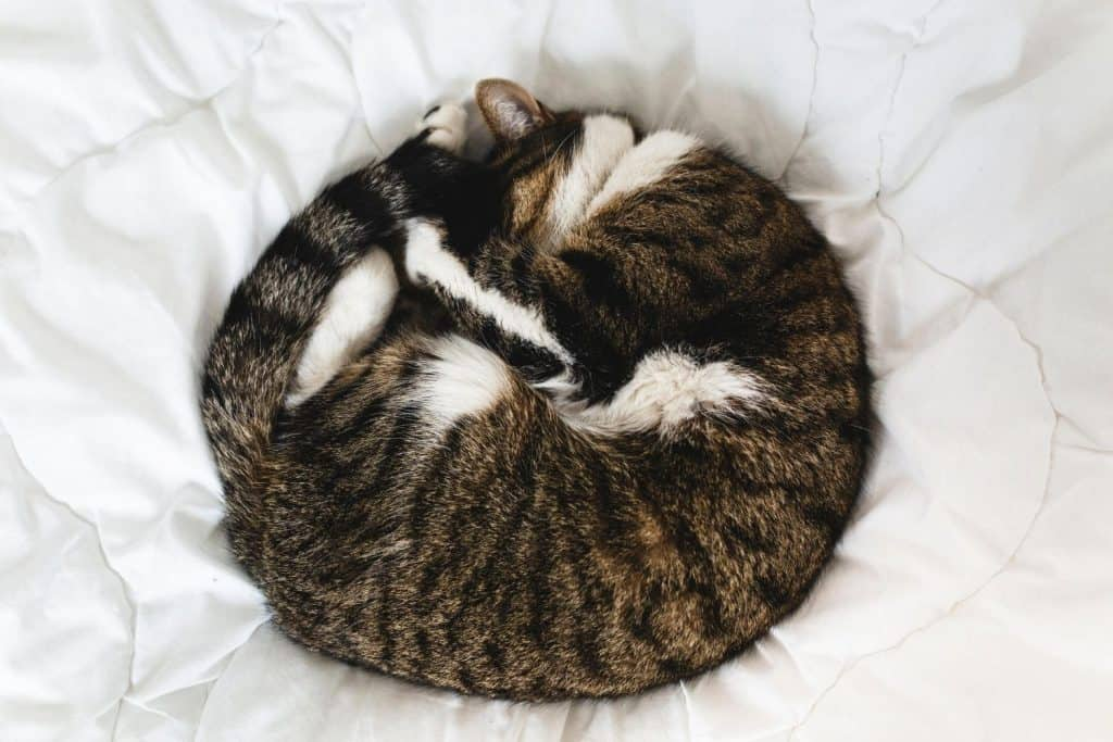 Tabby cat curled into a circle on a white bed.