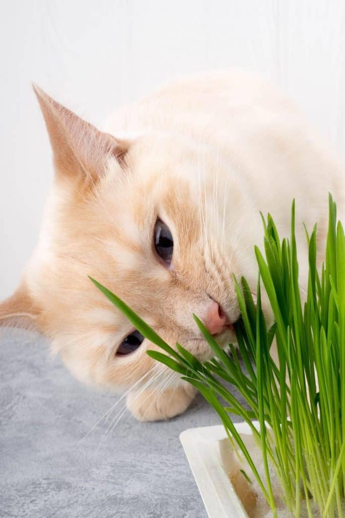 Light ginger cat chewing at a plant which could make it vomit clear liquid.