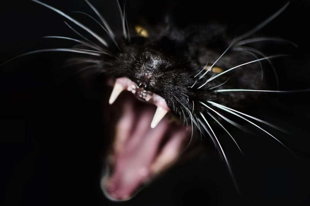 Black cat face closeup with mouth open wide
