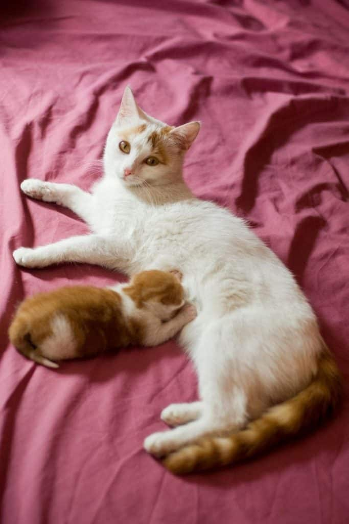 White and ginger cat-with kitten suckling and kneading.