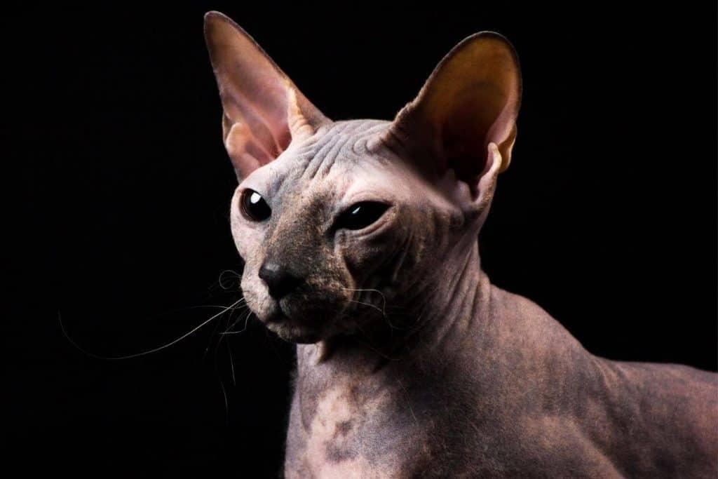 Donskoy cat against black background
