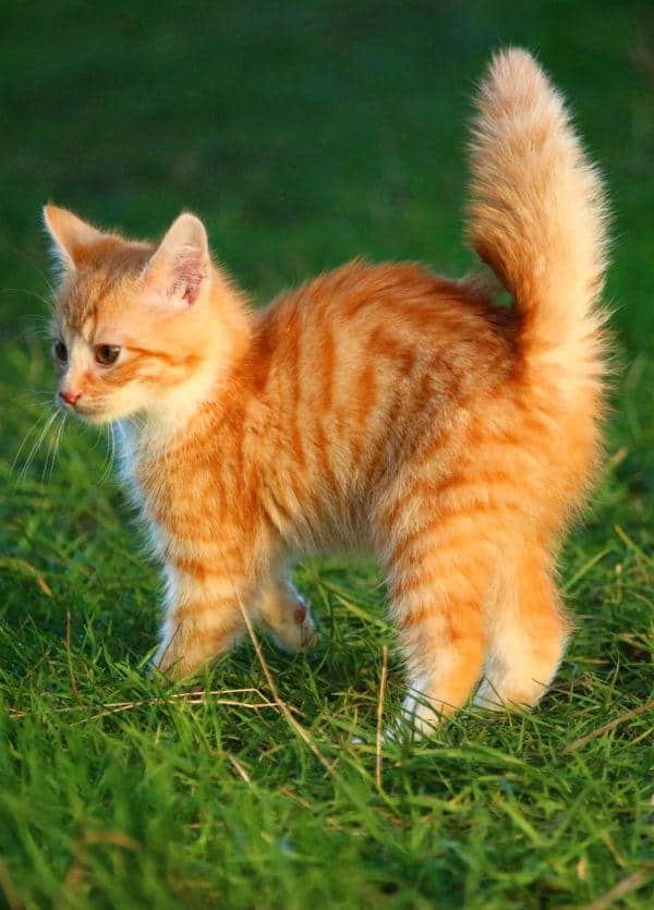Ginger kitten with upright, bushed-out tail a position that can be accompanied by quivering