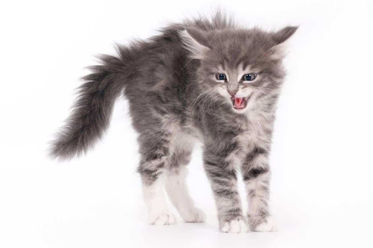 Grey tabby kitten after sideways run