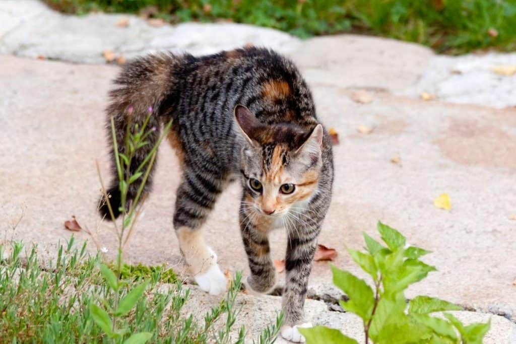kitten with its back up and tail puffed