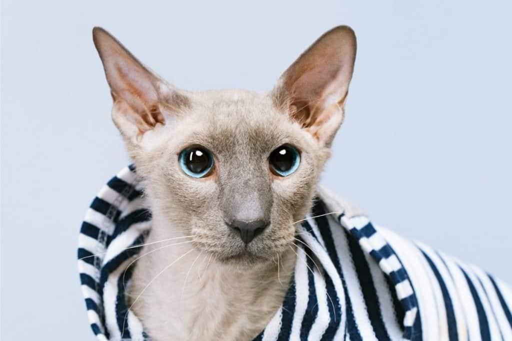 Peterbald cat in striped coat