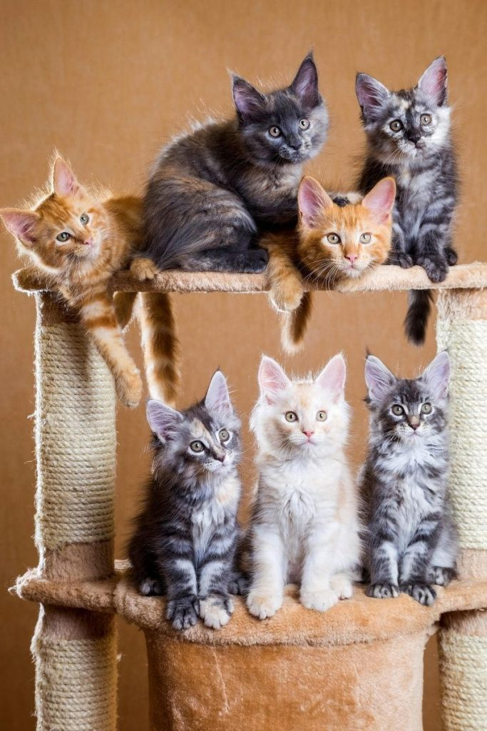 Seven Maine Coon kittens sitting on a cat climbing tree.