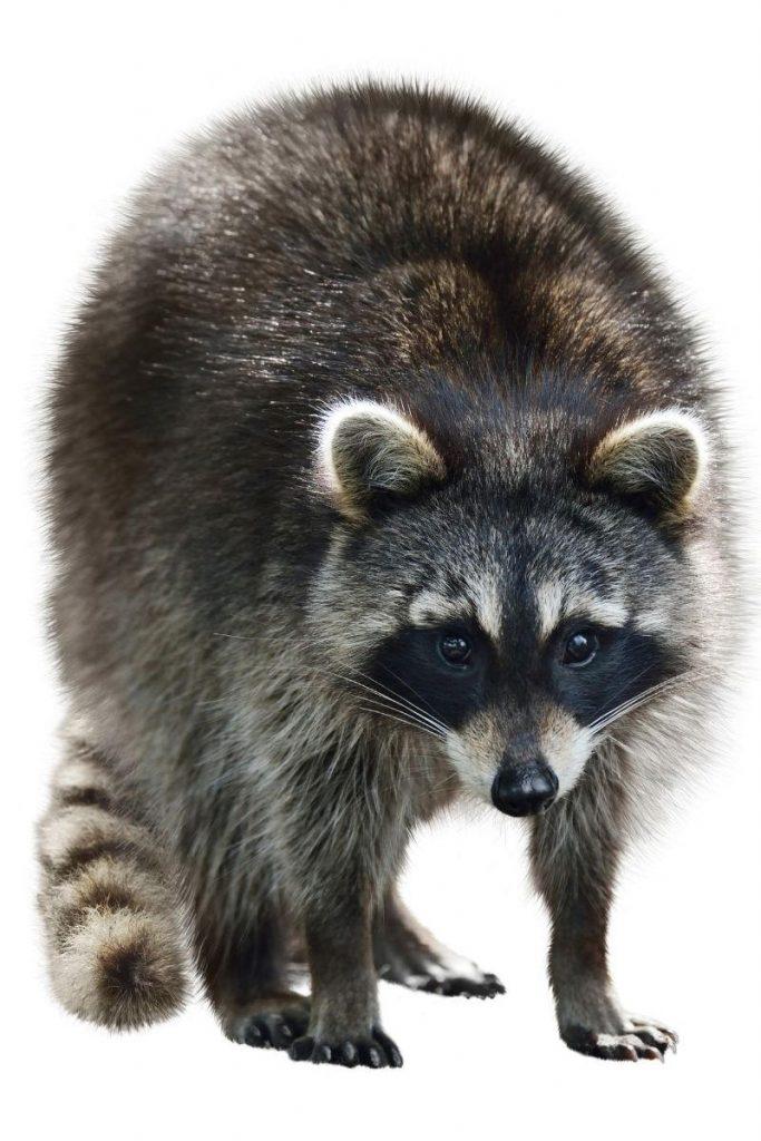 An adult raccoon staring straight ahead.