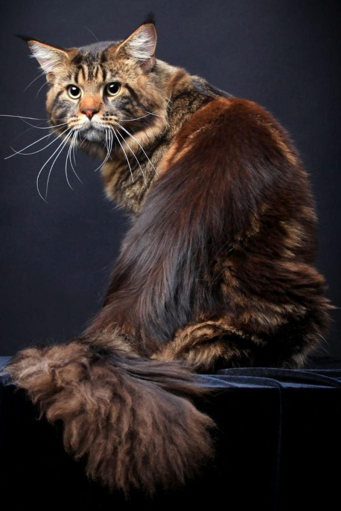 A black tabby Maine Coon seated and looking over its shoulder.